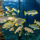 Hanging with the sweetlips by David Wachenfeld