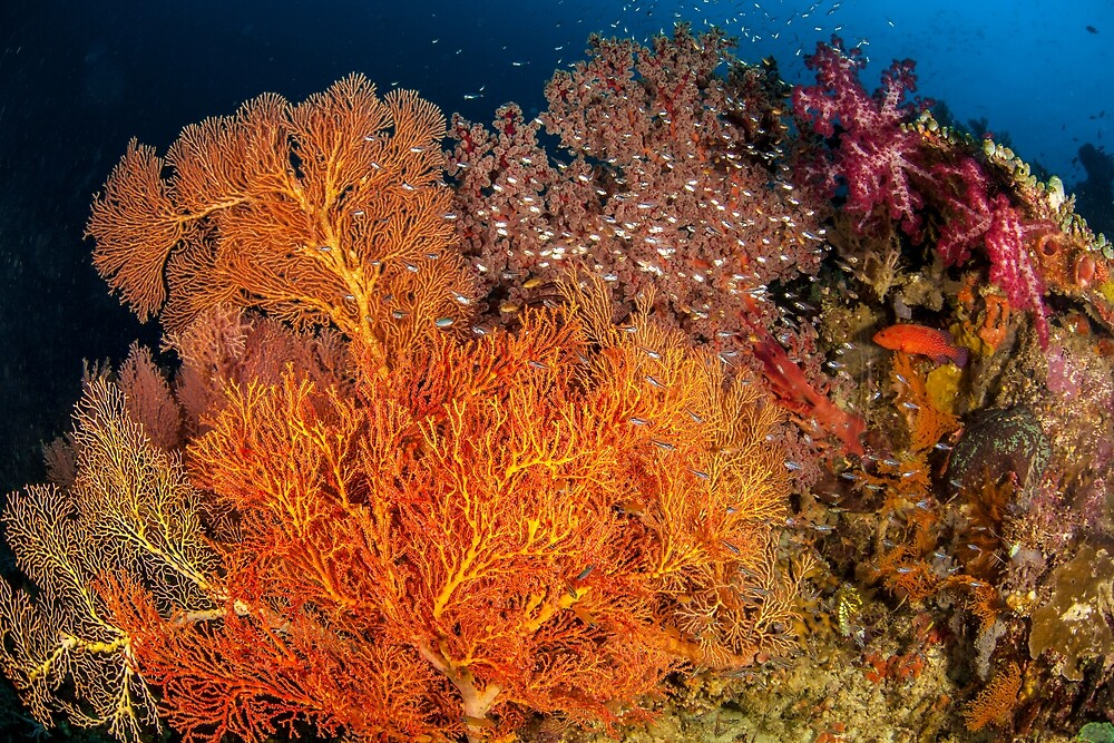 Raja Ampat soft corals by David Wachenfeld