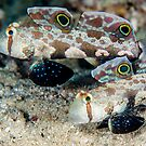 Signal gobies by David Wachenfeld