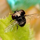 Bloody-Nosed Beetle, on Thistle Leaf by AnnDixon
