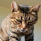 Tabby Cat Looking Down From A Height by taiche