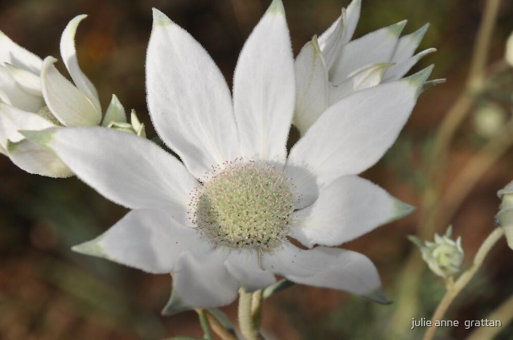 Flannel Flower 7 by julie anne  grattan