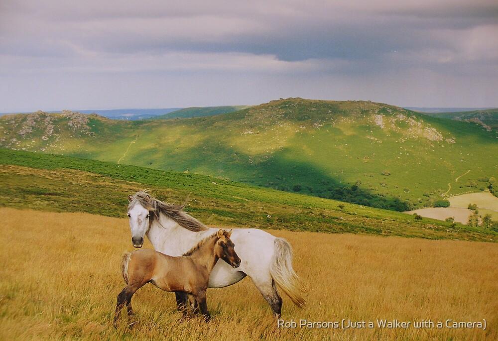 Dartmoor: Ponies on Hameldown by Robert parsons