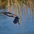 Tri-Colored Heron Coming In by TJ Baccari Photography