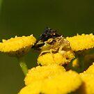 TWO Jagged Ambush Bugs by DigitallyStill