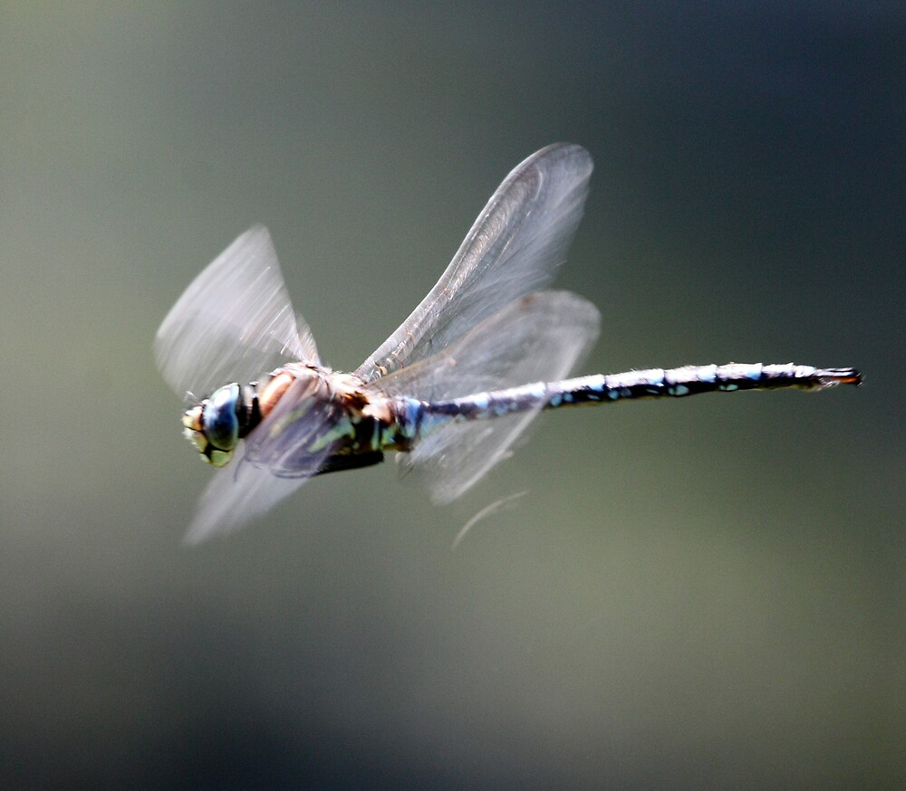 Paddle-Tailed Darner In-Flight Profile by Wolf Read