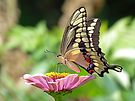 Giant Swallowtail Butterfly by FrankieCat