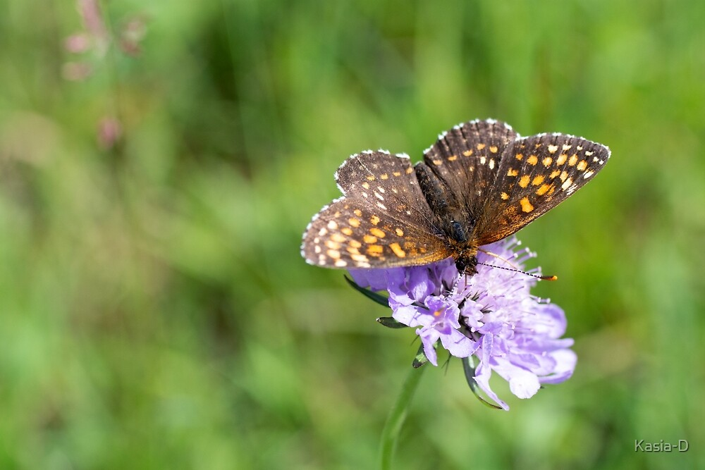 Fritillary enjoying the nectar by Kasia-D