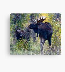 Moose Bull & Calf, Fall Colors Canvas Print