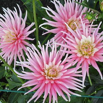 Pink Dahlias by ecoeye