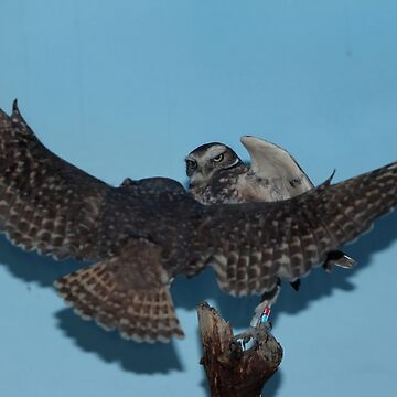 Burrowing Owls by umpa1