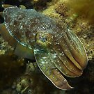 Cruising Giant Cuttlefish - Stony Point, Whyalla by Dan Monceaux