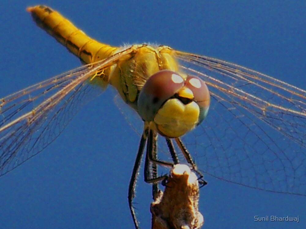 Dragonfly  by Sunil Bhardwaj