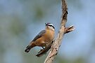 Red - breasted Nuthatch  by Lynda   McDonald