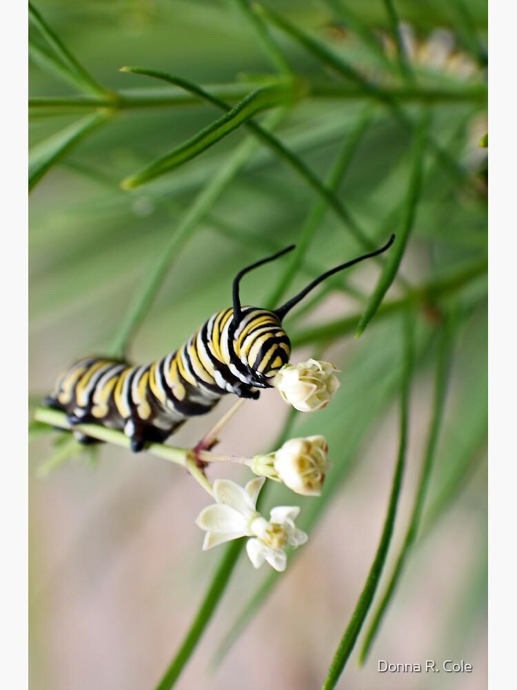 Monarch Caterpillar - 1 by alwaysdrc