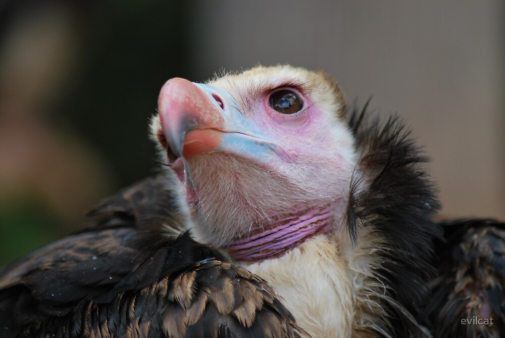 Vulture by evilcat