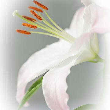 Lily  by heidipics