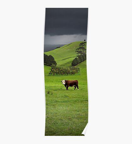 Hereford bull - Gippsland Poster