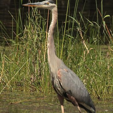 Chippewa Flowage Great Blue Heron by ThomasMurphy