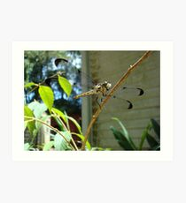 Great Blue Skimmer dragonfly (female) Art Print