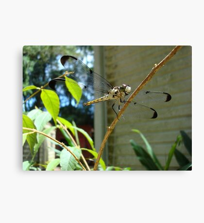 Great Blue Skimmer dragonfly (female) Canvas Print