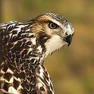 Hawk Eye by DenverCool