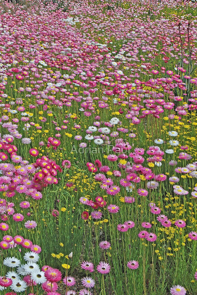 Quot A Carpet Of Native Flowers Kings Park Perth Western