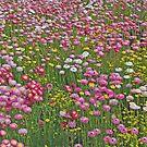 A Carpet of Native Flowers, Kings Park, Perth, Western Australia by Adrian Paul