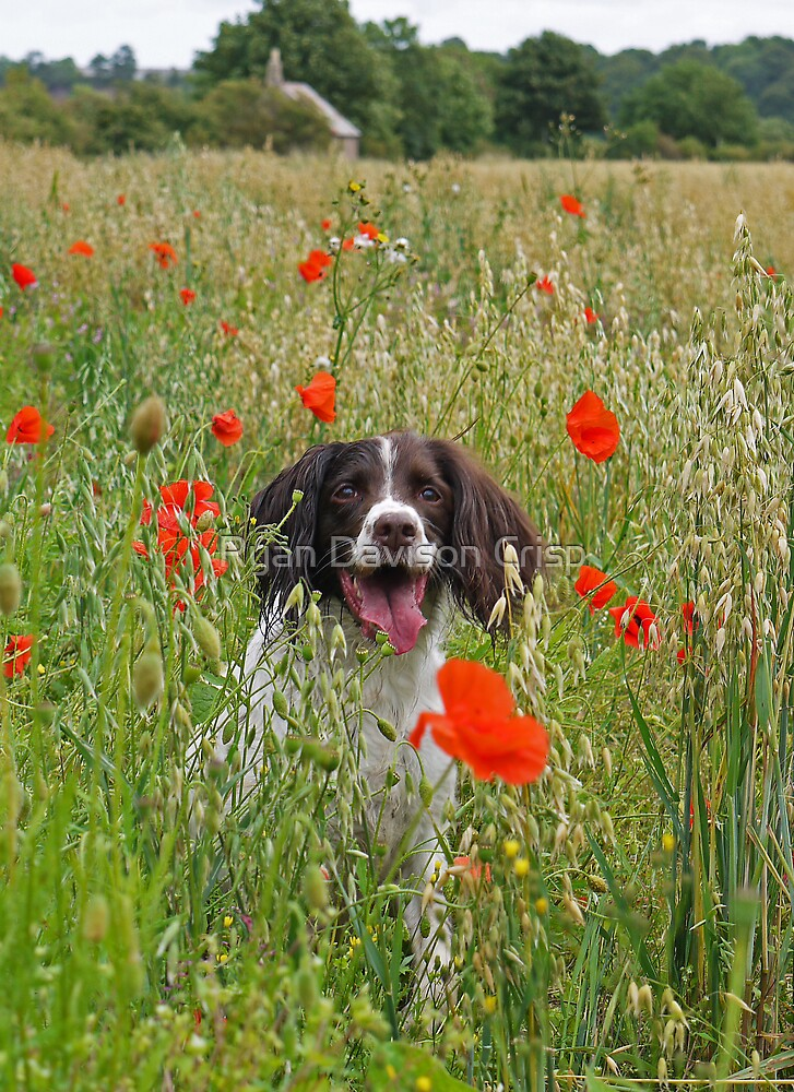 The Colourful Life of a Springer by Ryan Davison Crisp