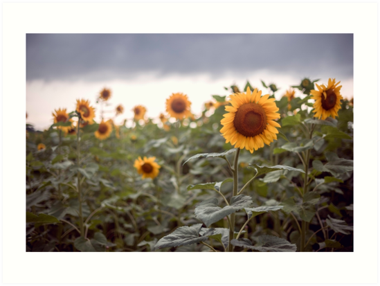 Sunflowers by jswolfphoto
