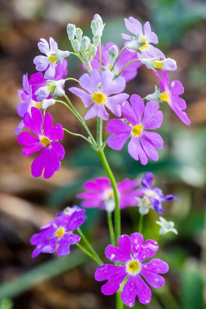 Primulas  by polyhymnia14