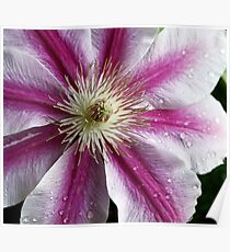 A Burst of Pink Clematis Poster