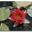Water Lily by John44