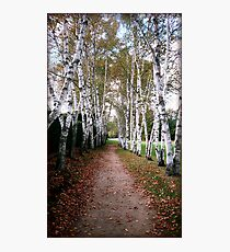 Birch Walk Photographic Print