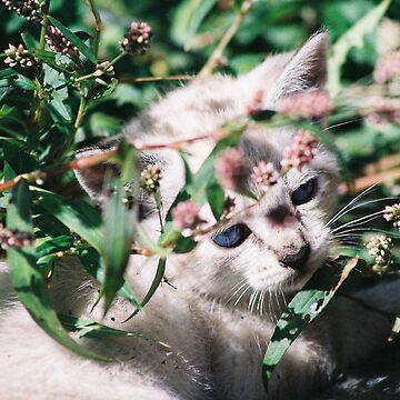 Little White Kitten Hides by Pagani
