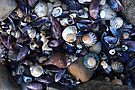 Beach Shells, South-East Tasmania, Australia by Michael Boniwell