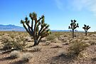 Joshua Trees in the Mojave by Sun Dog Montana
