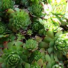 Succulents by Levity