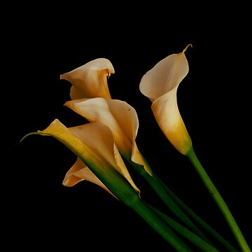 CALLA LILIES by tomb42