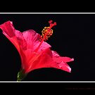 Hot Pink Hibiscus against Black Background by Te55
