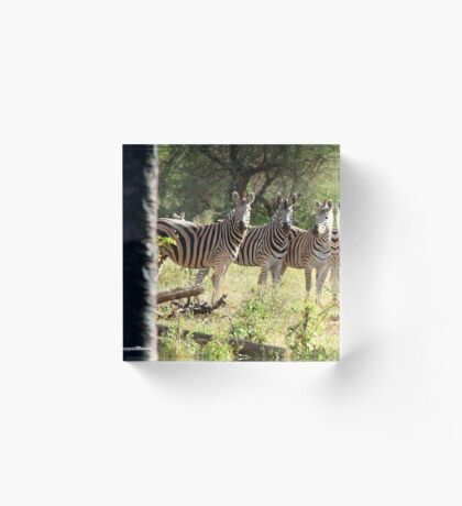 ARE WE SUPPOSE TO SMILE - BURCHELL'S ZEBRA – Equus burchelli – Bontkwagga Acrylic Block