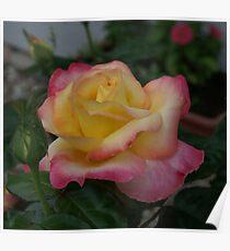 Soft Lovely Rose Poster