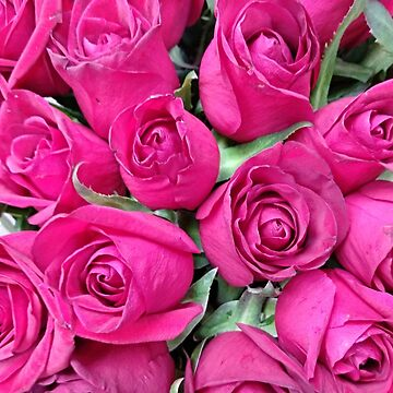 Bright pink roses in summer by designer437