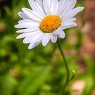 Daisy 2 by John Velocci