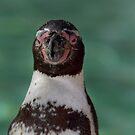 Humboldt Penguin portrait by daveashwin