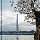 Cherry Blossoms at the Tidal Basin, Washington D.C. 2012 by Bine