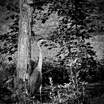 Heron standing tall with vignette by BBrightman