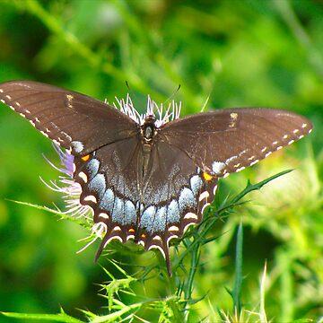 Spicebush Swallowtail by GinnyY