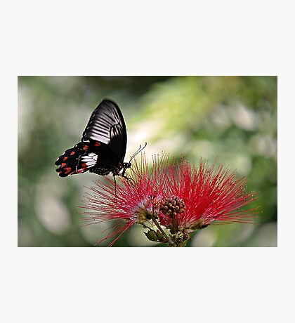 Dinnertime - swallowtail butterfly Photographic Print