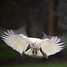 Little Corella landing #2 by Bev Pascoe
